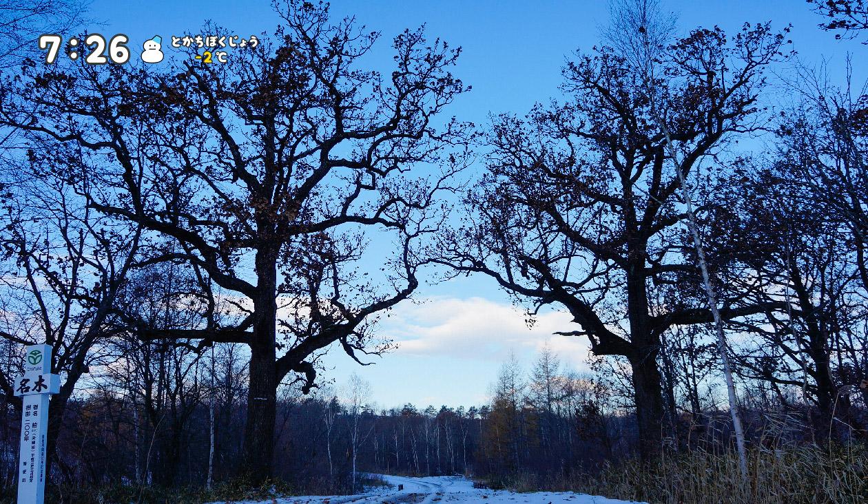 【冬の十勝牧場展望台へ徒歩でウォーキング】(7:26)夫婦柏という名木に出会いました。樹齢200年、すばらしいですね、美しいです。写真、影絵みたいです。